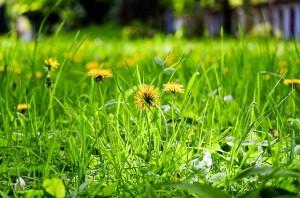 dandelion-1344494_640_free image pixabery